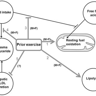 Summary of the effects of an acute endurance exercise bout