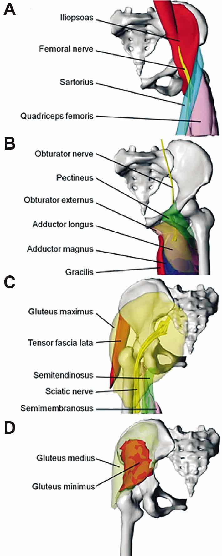 medium resolution of surface models of the hip joint muscles and their innervating nerves muscles are roughly categorized into the flexors a and adductors b shown in the