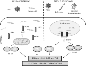 Diagram of nucleic acid sensing antiviral immune response