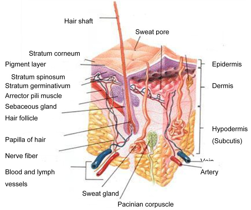 skin cross section diagram 4 pin aux stecker a schematic of human 9 download scientific