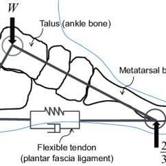 Blank Foot Diagram Datsun 620 Wiring Libraries Simple Sitehuman Diagrams Scematic Radius Ulna Bone