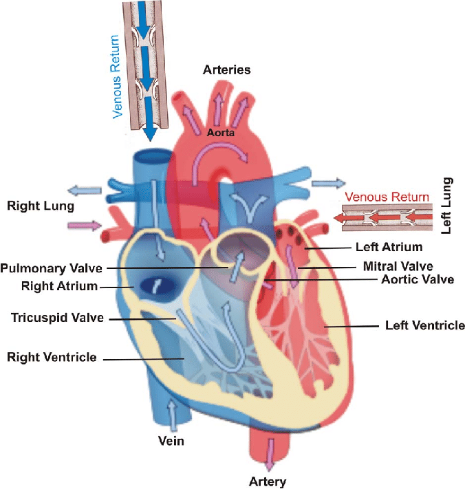 human heart and lungs diagram 2016 dodge ram 3500 radio wiring in the left right atria are filled with blood returning veins equipped valves from main body tissues