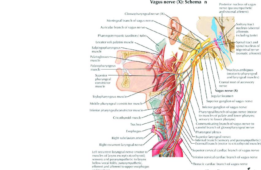 vagus nerve diagram 2016 jeep wrangler subwoofer wiring czeshop images source