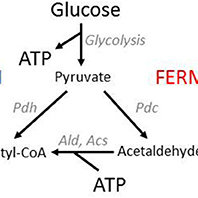 Yeast energy metabolism. Yeasts have two pathways for ATP