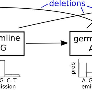 The VDJ recombination process, in which individual V, D