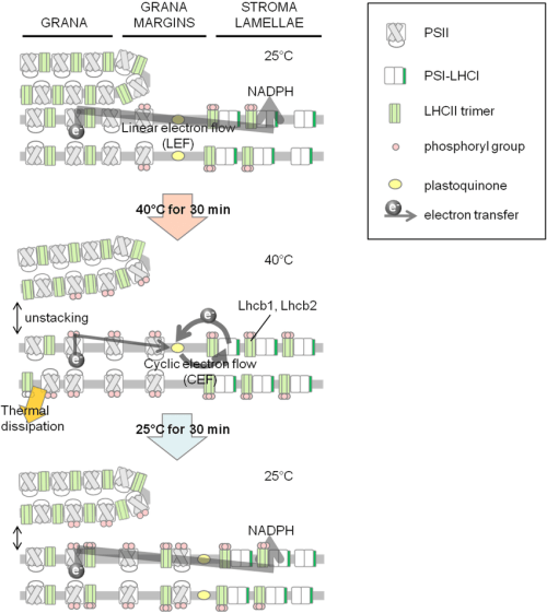 small resolution of schematic diagram of the thylakoid membrane and electron flow under different temperature conditions upper panel