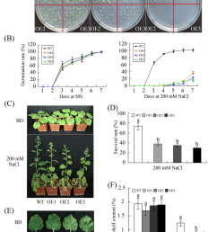 reduced salt tolerance in transgenic plants overexpressing ghwrky68 a seed germination on 1 [ 850 x 1189 Pixel ]