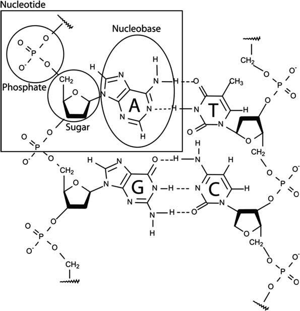 dna diagram sugar phosphate