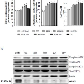 Effect of BDSW on mitochondrial mass in C2C12 myotubes. A