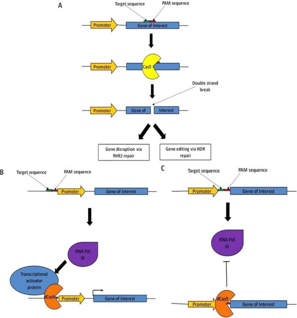 Schematic And Applications Of Crispr-cas9 System