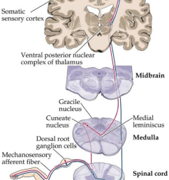 the spinothalamic pathway adapted from somatic sensory system http www  [ 850 x 1175 Pixel ]