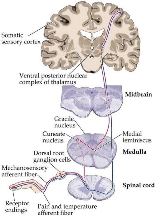 small resolution of the spinothalamic pathway adapted from somatic sensory system http www