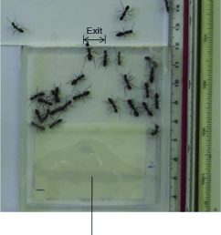 video recording of ants evacuating from a single exit room the exit width is [ 850 x 1007 Pixel ]