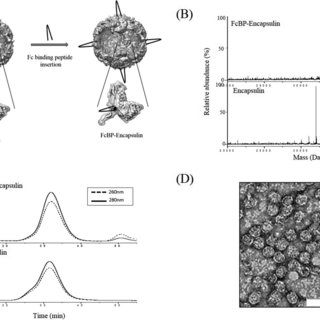 (PDF) Genetically engineering encapsulin protein cage