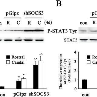 , IL-6/R or OSM activates the JAK/STAT3 pathway, which