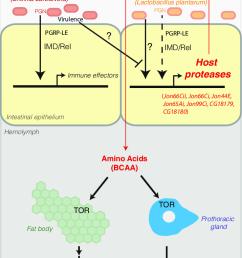 ecc15 virulence antagonizes l plantarum mediated enhancement of host protein digestion capacities impeding drosophila [ 715 x 1123 Pixel ]