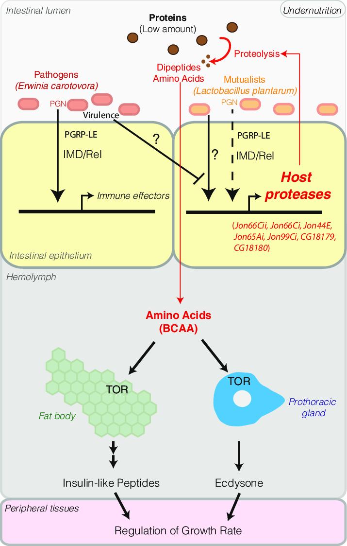 medium resolution of ecc15 virulence antagonizes l plantarum mediated enhancement of host protein digestion capacities impeding drosophila