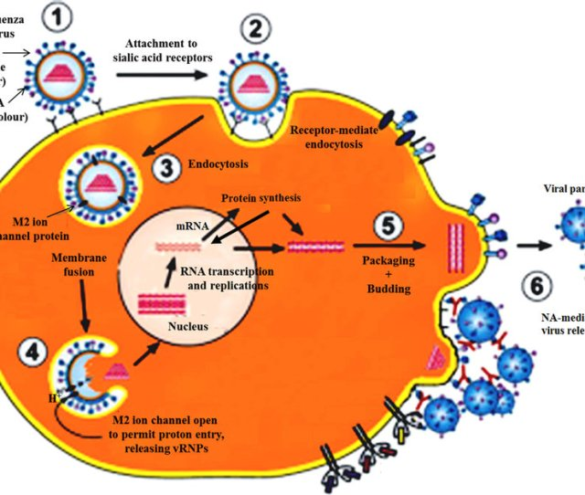 A Schematic Presentation Of Influenza A Virus Life Cycle Adapted
