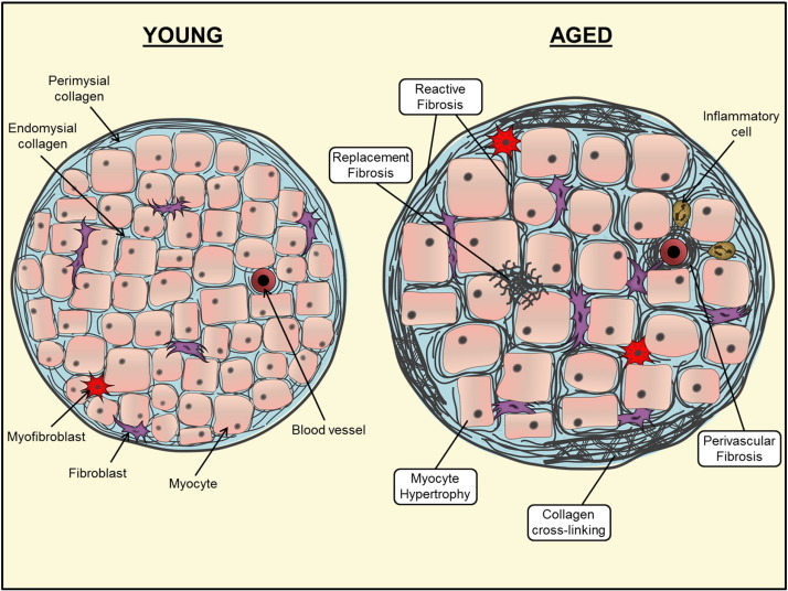 Image result for aging extracellular matrix