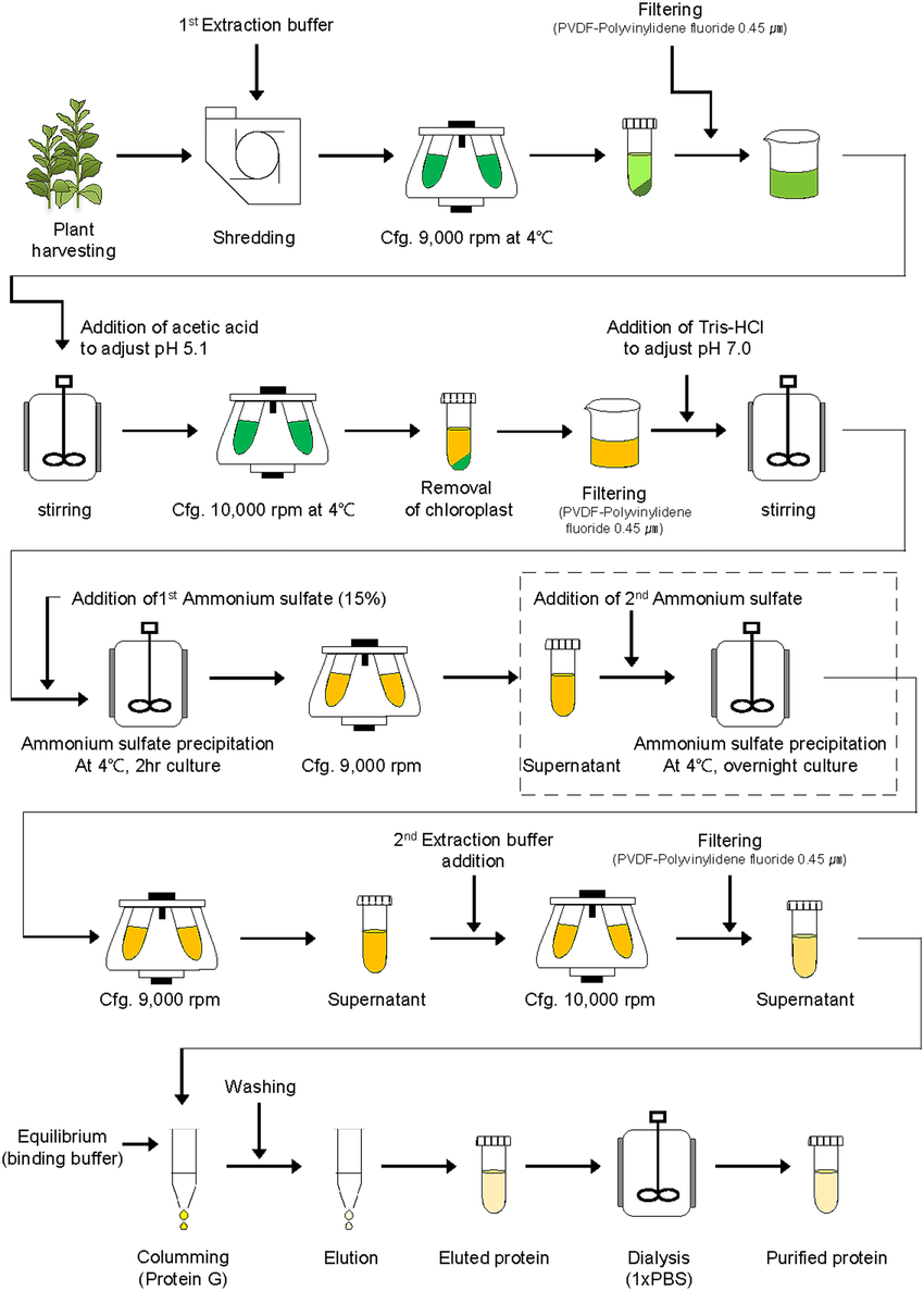 hight resolution of schematic diagram of downstream processing of recombinant protein ga733 fck from plant leaf biomass