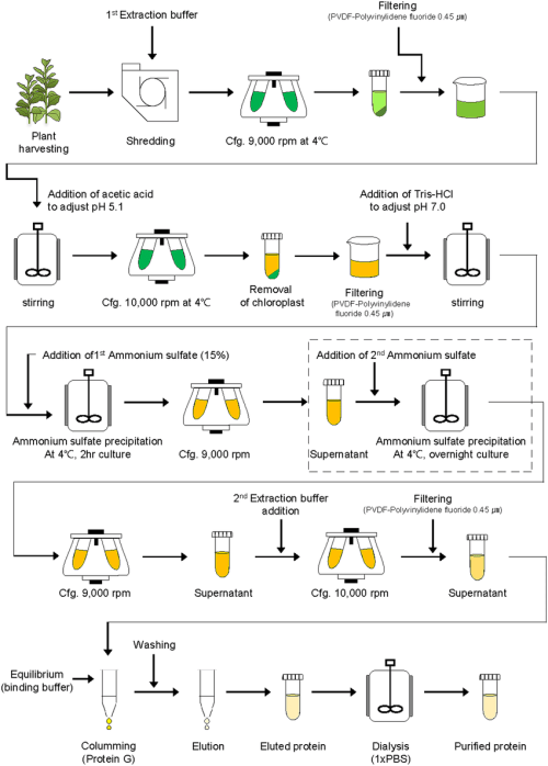 small resolution of schematic diagram of downstream processing of recombinant protein ga733 fck from plant leaf biomass