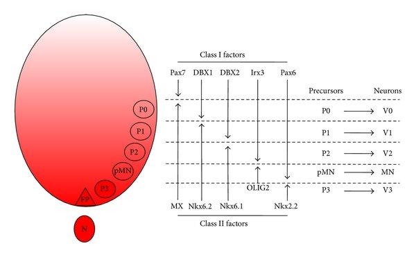 hight resolution of a schematic depicting columnar arrangement of motor neuron subtypes postganglionic motor neuron diagram a schematic depicting