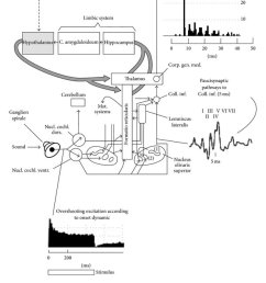 diagram of the classical auditory pathways from the ear to the auditory cortex diagram retrieved [ 850 x 1010 Pixel ]
