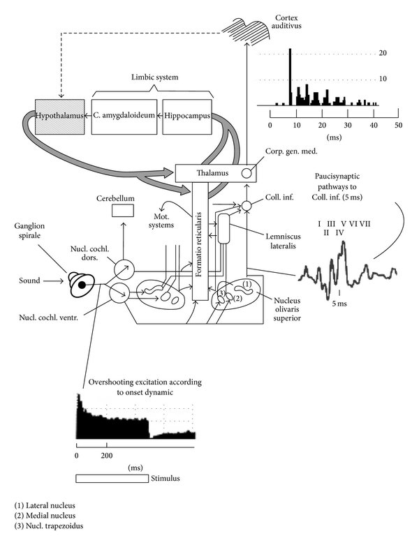 hight resolution of diagram of the classical auditory pathways from the ear to the auditory cortex diagram retrieved