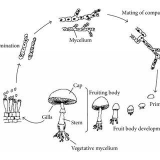 Agaricus Bisporus Life Cycle