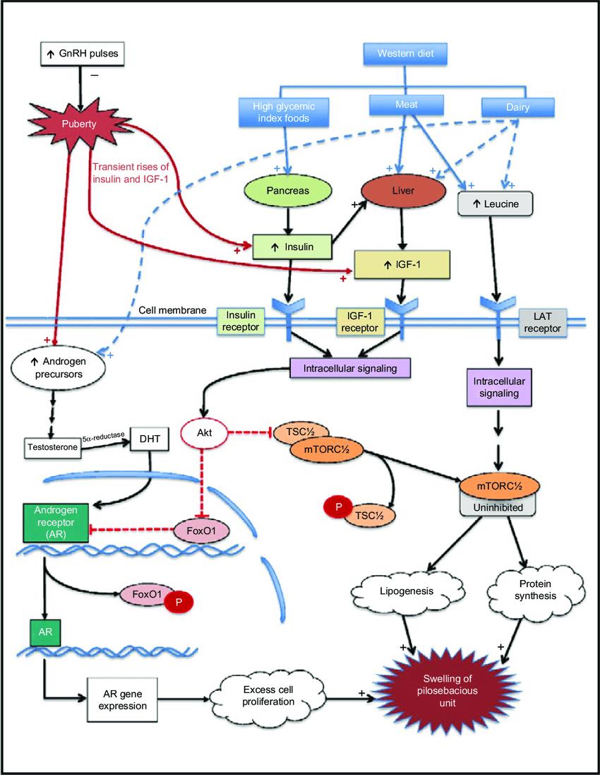 medium resolution of cellular mechanisms hypothesized to govern the pathogenesis of acne vulgaris abbreviations gnrh gonadotropin