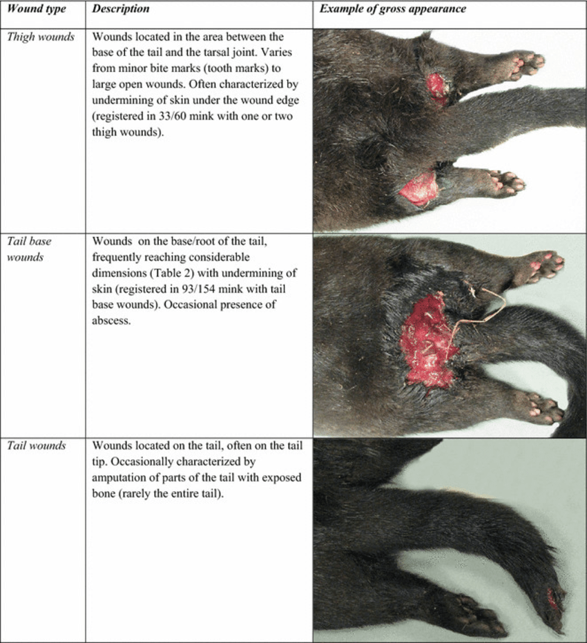 hight resolution of pathoanatomical characteristics of wounds most common wounds seen in farmed mink in october