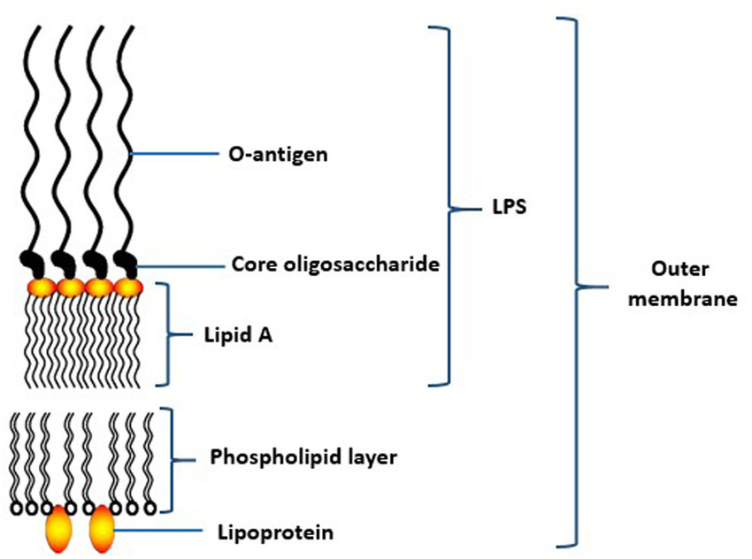 | Schematic structure of lipopolysaccharide (LPS) of the