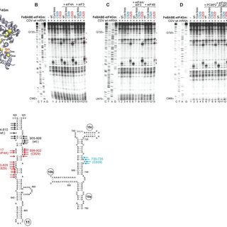 Ribosomal attachment to the CDV IRES is followed by
