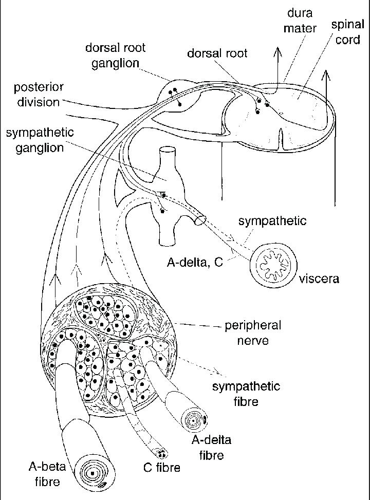 Anatomical basis of pain transmission. Nociceptive
