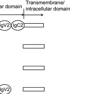 (PDF) Development of DS-5573a: A novel afucosylated