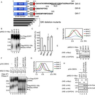(PDF) The STAR protein QKI-7 recruits PAPD4 to regulate