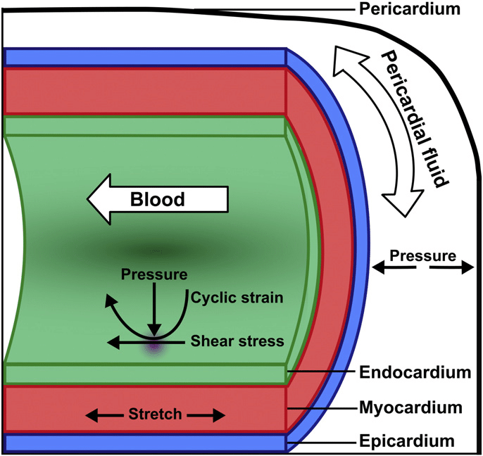 heart diagram inside yamaha mio sporty electrical wiring mechanical forces influencing cardiac development the download scientific