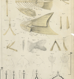 anatomy of the caudal skeleton of twin tail goldfish as described by watase 23 a drawings of transverse sections at the caudal level in different  [ 850 x 1190 Pixel ]