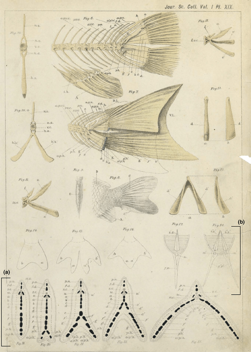 hight resolution of anatomy of the caudal skeleton of twin tail goldfish as described by watase 23 a drawings of transverse sections at the caudal level in different