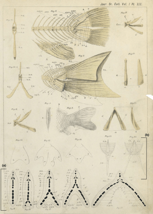 small resolution of anatomy of the caudal skeleton of twin tail goldfish as described by watase 23 a drawings of transverse sections at the caudal level in different