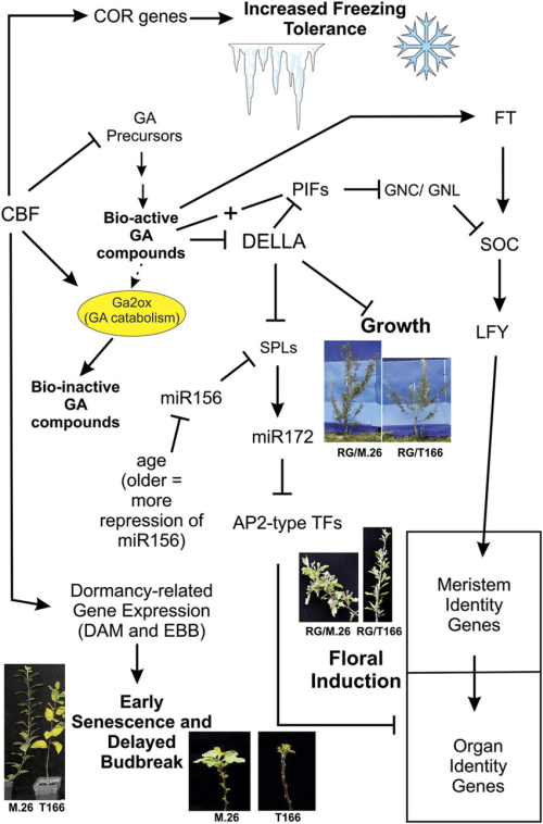 small resolution of schematic diagram of the potential influence of cbf gene expression on download scientific diagram