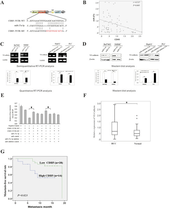 R-27a-3p targets the 3′-UTR of the VE-cadherin gene and