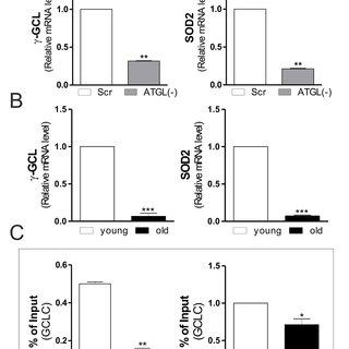 ATGL is decreased in skeletal muscle of old mice. A