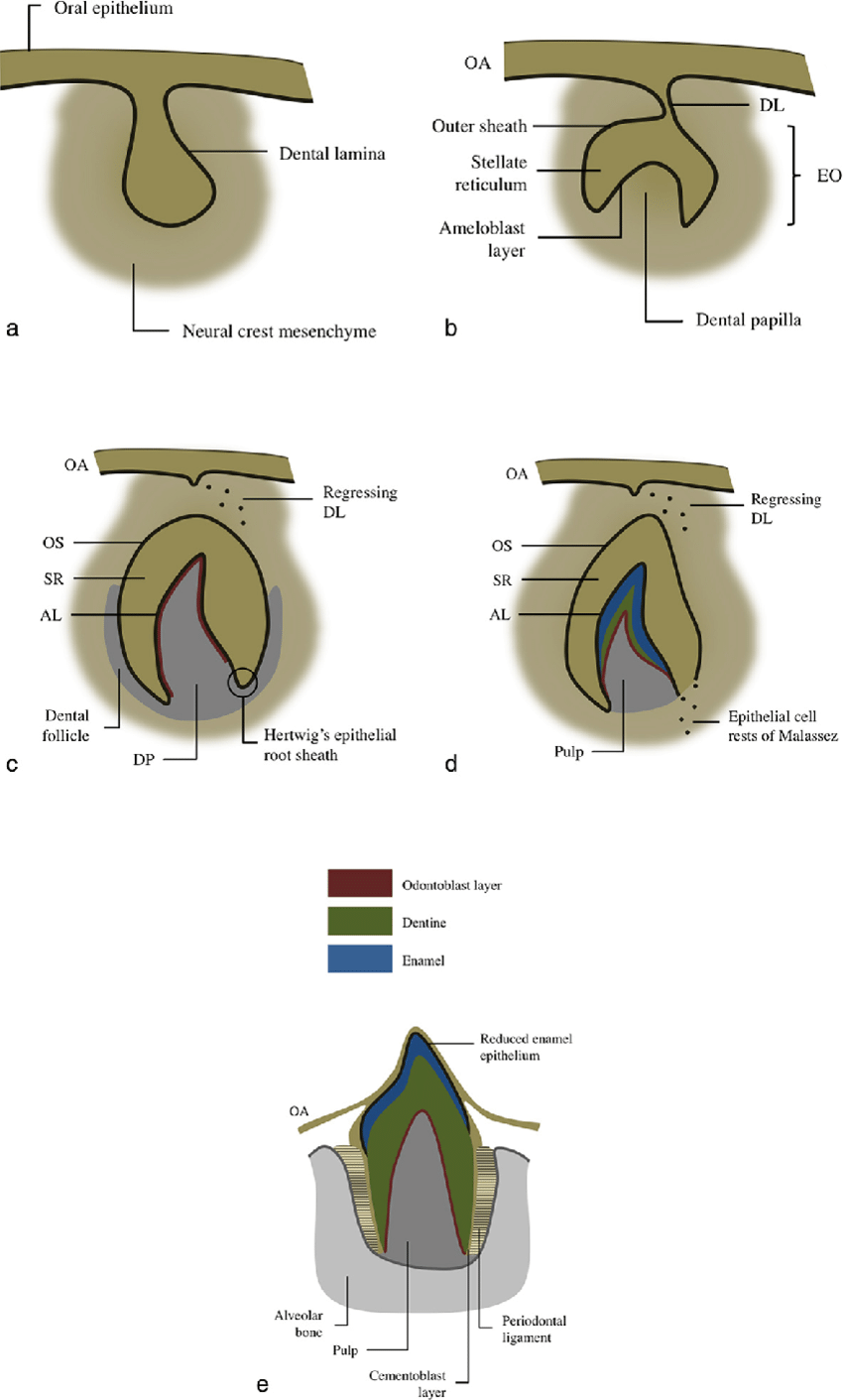 hight resolution of diagram of tooth development during a the bud stage 8th week