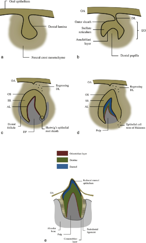 small resolution of diagram of tooth development during a the bud stage 8th week