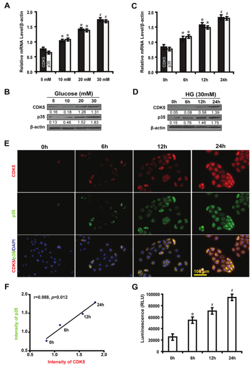 small resolution of high glucose induces the expression of cdk5 and p35 and elevates cdk5 kinase activity in nrk