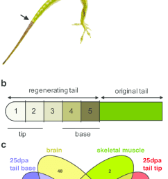 experimental design of microrna analysis of lizard tail regeneration download scientific diagram [ 645 x 1236 Pixel ]