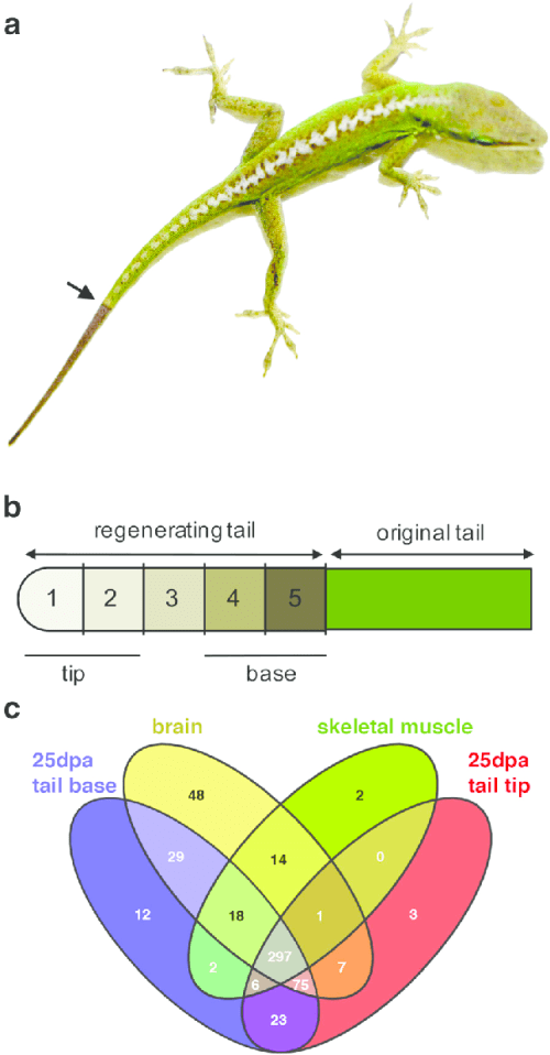 small resolution of experimental design of microrna analysis of lizard tail regeneration download scientific diagram