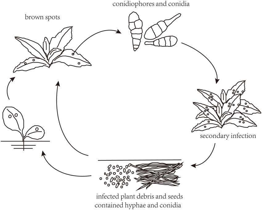 Saprophytic life cycle of Alternaria invading its host