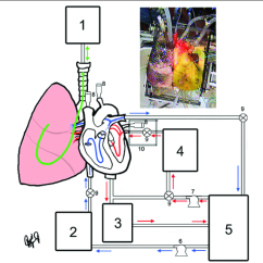 Human Heart And Lungs Diagram Pourbaix Nickel Top Right External View Of 277 In Systole Attached To The System Center Flow For A Functional Lung Reanimation